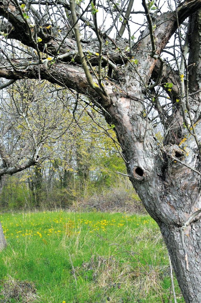 Les arbres du verger sont parfaits pour abriter les nichées de mésanges.